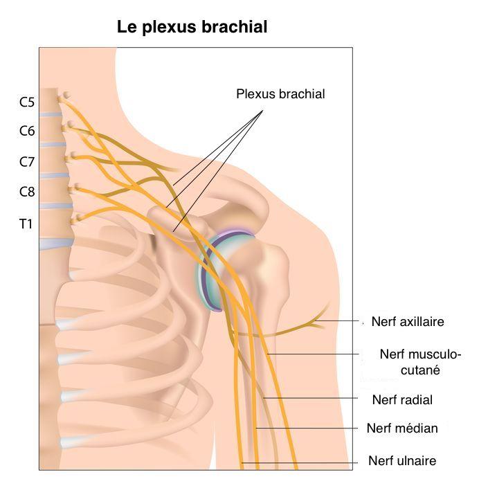 Brachial plexus nerve network